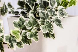 Bluszcz kanaryjski (hedera canariensis) – opis, uprawa, pielęgnacja, porady