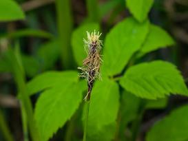 Turzyca pospolita (carex nigra, carex fusca) – opis, odmiany, uprawa, porady