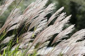 Miskant chiński Adagio - sadzenie, uprawa, pielęgnacja, rozstawa trawy ozdobnej