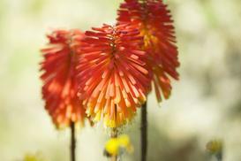 Trytoma - sadzenie, odmiany, uprawa, pielęgnacja, zimowanie, rozmnażanie
