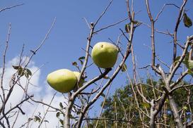 Pigwowiec chiński (Pseudocydonia sinensis) - wymagania, uprawa, pielęgnacja, porady