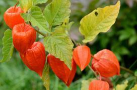 Miechunka pomidorowa – uprawa, pielęgnacja, najlepsze przepisy