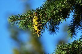 Daglezja zielona - sadzenie, uprawa, odmiany, wymagania, cięcie