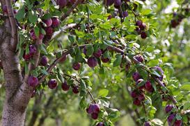 Śliwa w ogrodzie - odmiany, uprawa, pielęgnacja, choroby, cięcie
