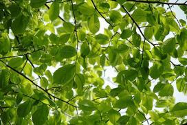 Wiąz pospolity (wiąz polny) - opis drzewa, uprawa, pielęgnacja, porady