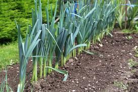 Uprawa pora w gruncie – odmiany, sadzenie, pielęgnacja, nawożenie, choroby