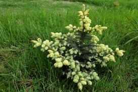 Świerk białobok - cena, sadzenie, uprawa, pielęgnacja, przyrost, przycinanie