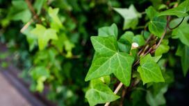 Bluszcz zimozielony - szybkorosnące pnącze - uprawa, pielęgnacja, porady
