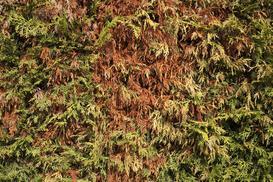 Fytoftoroza iglaków - przyczyny, objawy, skuteczne zwalczanie