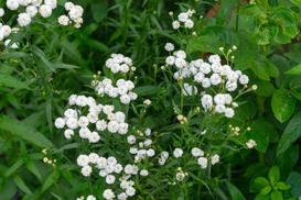 Krwawnik kichawiec - opis, sadzenie, uprawa, pielęgnacja