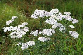 Krwawnik ogrodowy - odmiany, sadzenie, uprawa, pielęgnacja