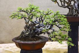 Wiąz drobnolistny (Bonsai) - uprawa, pielęgnacja, ceny, porady