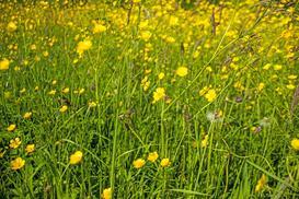 Jaskier polny (łąkowy) - zastosowanie, właściwości, występowanie, opis