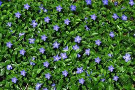 Barwinek w ogrodzie - odmiany, uprawa, pielęgnacja, wymagania, cena
