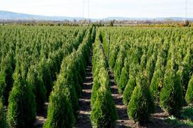 Tuja 'Szmaragd' - sadzenie, uprawa, cena, choroby, pielęgnacja, choroby