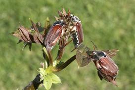 Zwalczanie chrabąszcza majowego w ogrodzie - jak się go pozbyć?