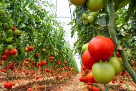 Uprawa pomidorów w szklarni krok po kroku