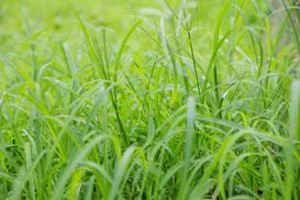 Mietlica pospolita (Agrostis capillaris) - opis, wysiew, cena nasion