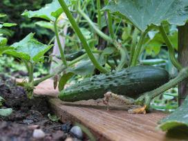 Uprawa ogórków krok po kroku - sadzenie, pielęgnacja, podlewanie, nawożenie