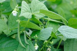 Uprawa fasolki szparagowej krok po kroku - wysiew, pielęgnacja, nawożenie, zbiór