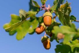Dąb szypułkowy a bezszypułkowy - różnice, cechy charakterystyczne, sadzenie, wymagania