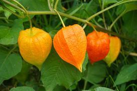Miechunka rozdęta - sadzenie, uprawa, pielęgnacja, zastosowanie w kuchni