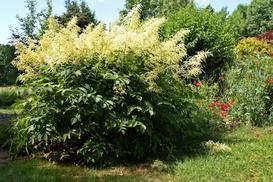 Parzydło leśne - odmiany, wymagania, uprawa, pielęgnacja, porady