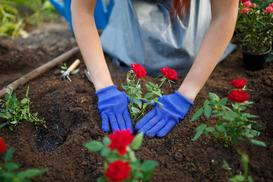 Jak i kiedy sadzić róże? Praktyczny poradnik krok po kroku