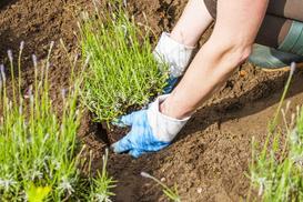 Sadzenie lawendy krok po kroku - terminy, ziemia, przesadzanie, porady