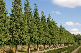 Żywotnik olbrzymi (tuja olbrzymia) - odmiany, sadzenie, uprawa, pielęgnacja