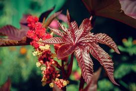 Rącznik pospolity - wyjątkowo trująca roślina - wymagania, uprawa, pielęgnacja