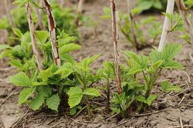 Jak wybrać najlepsze sadzonki malin? Odmiany, ceny, porady przy wyborze