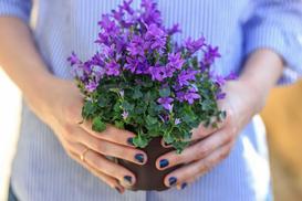 Campanula (dzwonek) - odmiany, uprawa, pielęgnacja, porady praktyczne