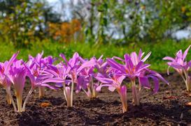 Zimowit jesienny - wymagania, sadzenie, uprawa, pielęgnacja, porady