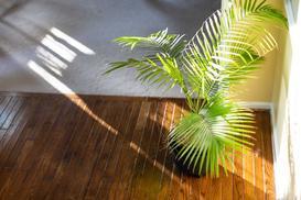 Palma areka żółtawa (chryzalidokarpus) - uprawa, pielęgnacja, podlewanie, porady praktyczne
