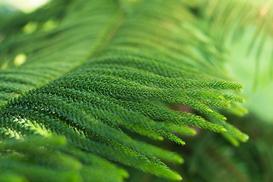 Jodła pokojowa (Araukaria domowa) - uprawa, pielęgnacja, porady praktyczne