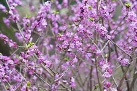 Wawrzynek wilczełyko - piękny, ale trujący krzew - uprawa, pielęgnacja, porady