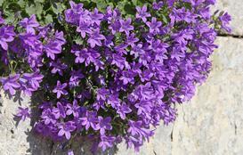 Dzwonek dalmatyński - sadzenie, uprawa, pielęgnacja, podlewanie, porady praktyczne