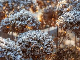 Zimowanie hortensji ogrodowej - jak zabezpieczyć krzew na zimę