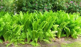 Długosz królewski - wymagania, sadzenie, uprawa, pielęgnacja, porady