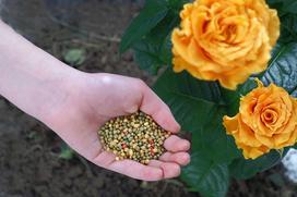 Nawożenie róż krok po kroku - jaki nawóz do róż wybrać i jak go użyć?