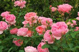 Róża angielska - odmiany, uprawa, sadzonki, pielęgnacja, porady