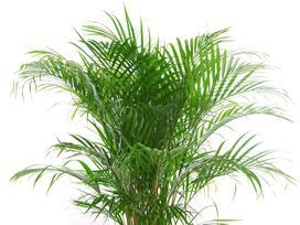 Palma betelowa (Areca catechu) - uprawa, pielęgnacja, podlewanie, praktyczne porady