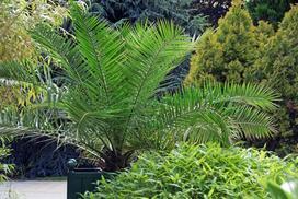 Daktylowiec kanaryjski (palma królewska) w doniczce - uprawa, pielęgnacja, podlewanie