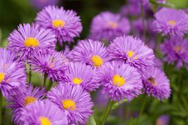 Aster alpejski (Aster alpinus) - sadzenie, uprawa, pielęgnacja, porady