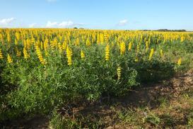 Łubin żółty - opis, charakterystyka, uprawa, pielęgnacja, porady