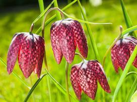 Szachownica kostkowata (Fritillaria meleagris) - uprawa, pielęgnacja, porady