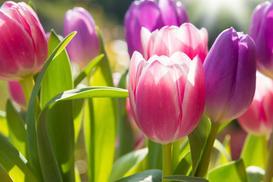 Tulipan jerozolimski - opis, ceny cebulek, uprawa, pielęgnacja, porady