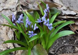 Cebulica dwulistna (Scilla bifolia) - opis, uprawa, pielęgnacja, porady