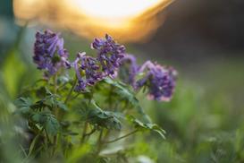 Kokorycz (Corydalis solida) - odmiany, opis, uprawa w ogrodzie